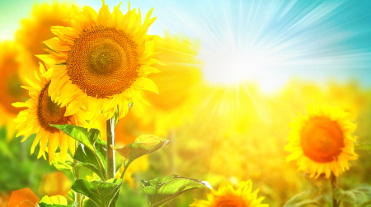 Sunflower field and beautiful sun