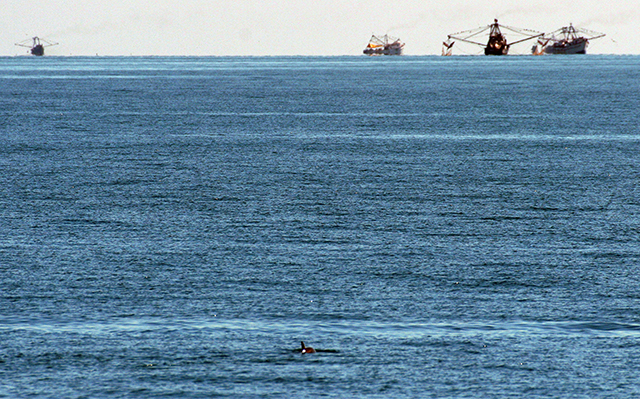 Vaquita porpoise in Gulf of California with menacing fishing boats in the background.